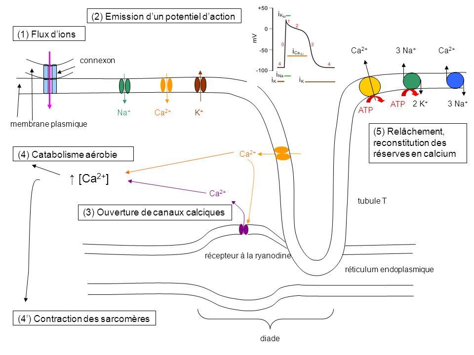 ↑ [Ca2+] (2) Emission d'un potentiel d'action (1) Flux d'ions